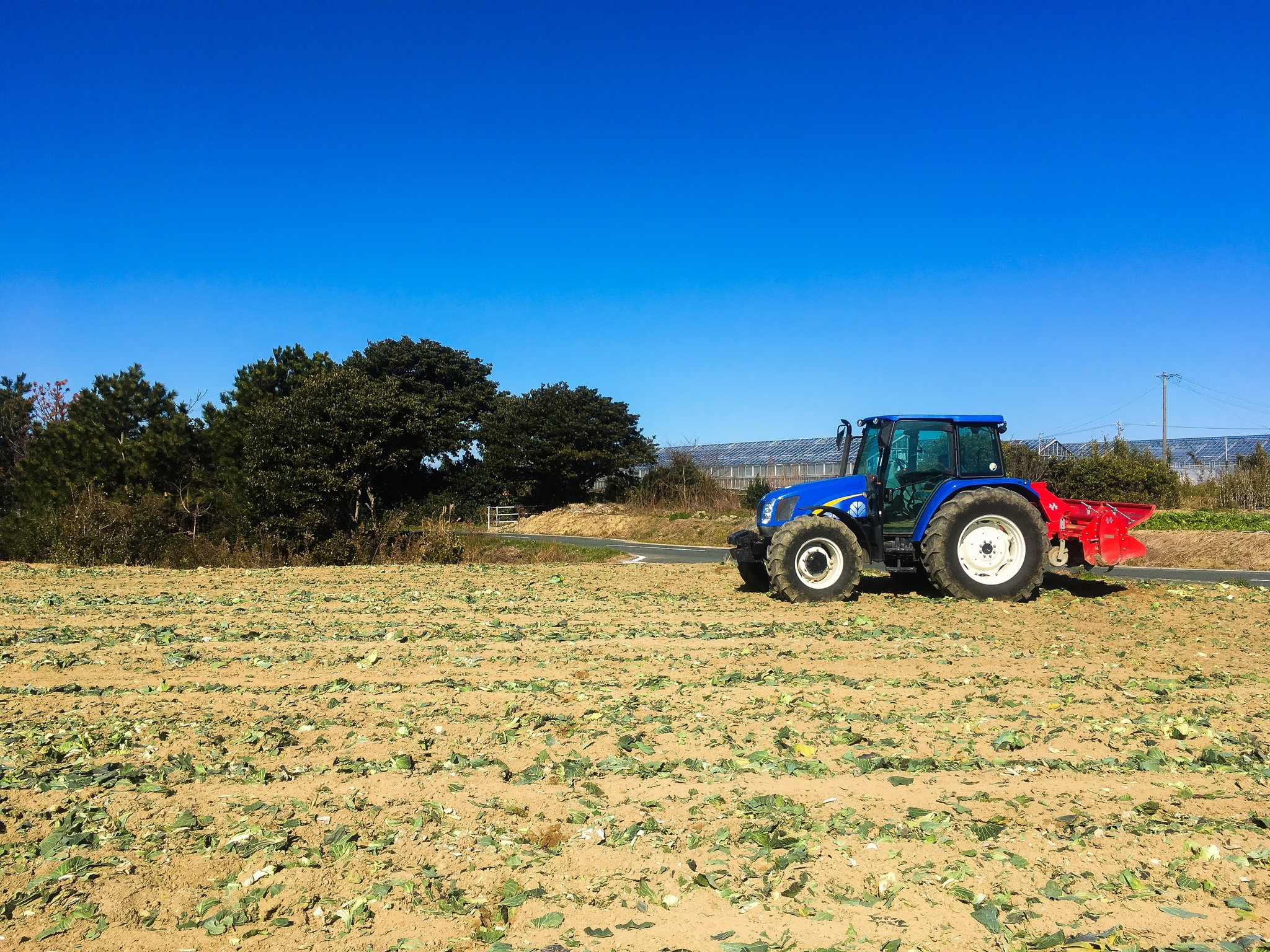 キャベツ畑からトウモロコシ畑へ