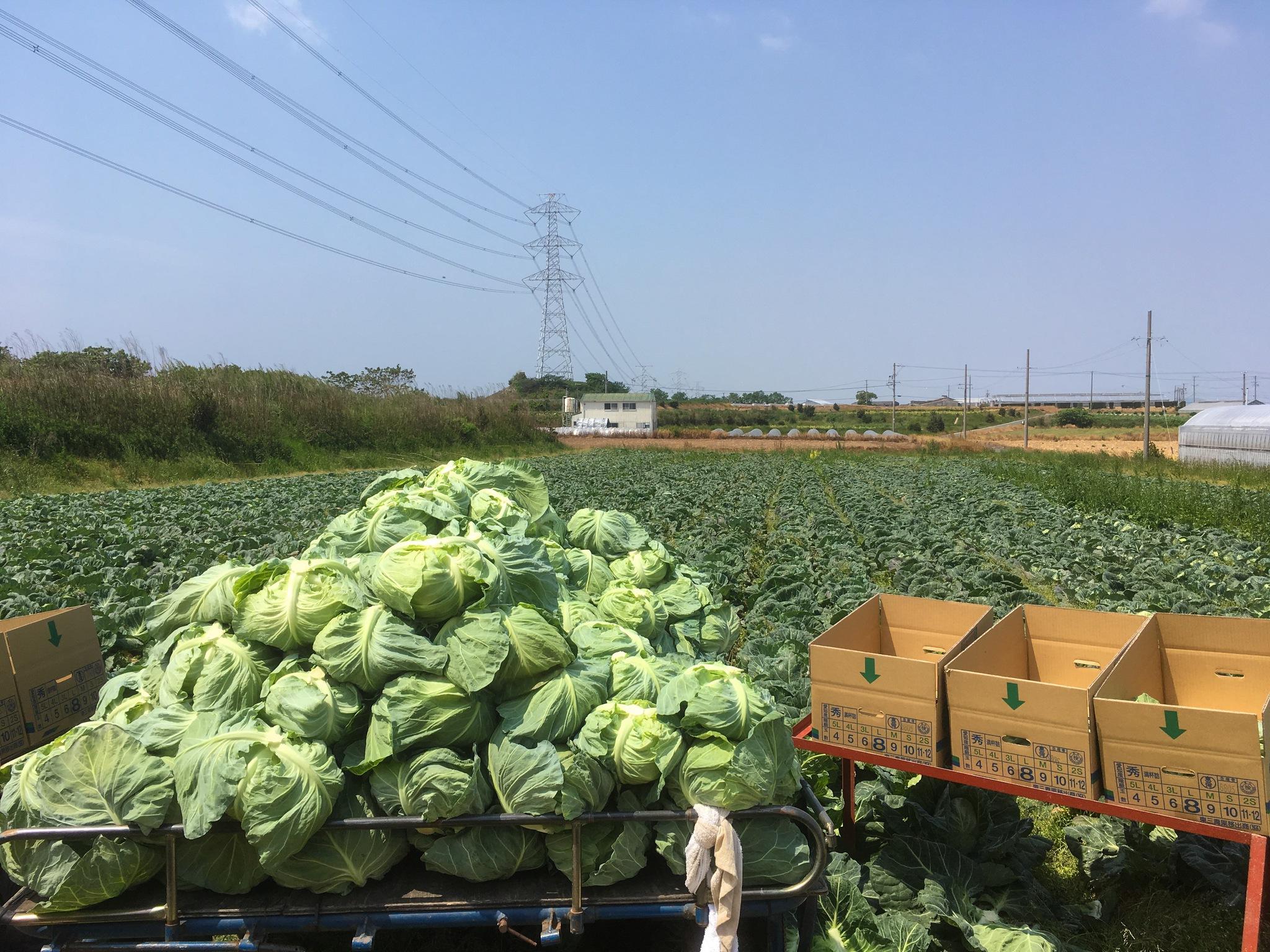 新キャベツの収穫